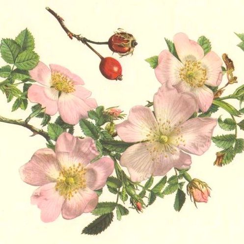 Bach Flower Therapy Course Wild Rose Vintage